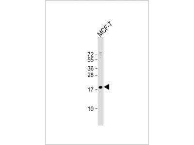 MBD3L3 Antibody
