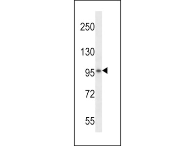 VSGP/F-spondin Antibody