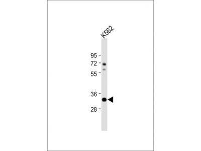 ATP1B2 Antibody