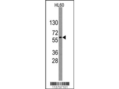 Nucleostemin Antibody