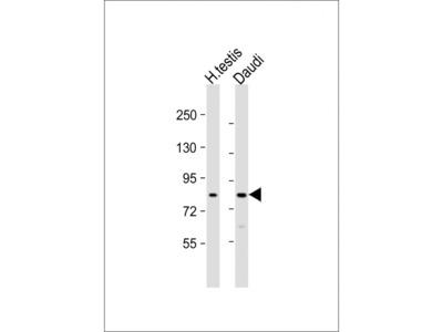 GSG2 Antibody