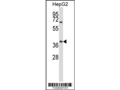 AMBP Antibody