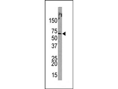 PML Sumoylation Site Antibody
