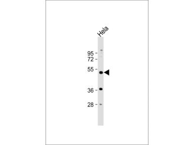 NR1I2 Antibody