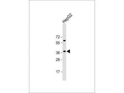 E2F5 Antibody
