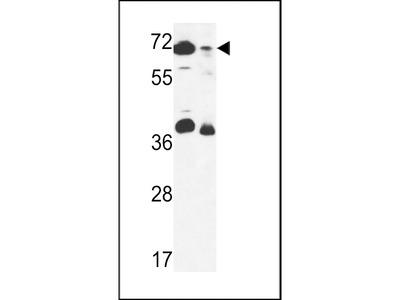 ERF3B Antibody