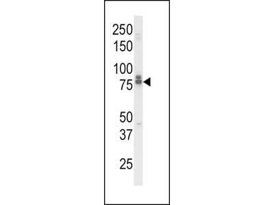 IL18RAP Antibody