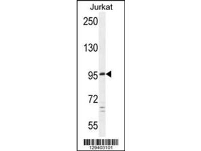 C6orf138 Antibody