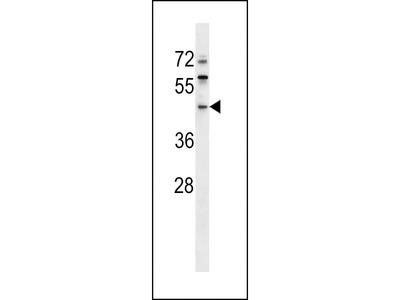 ERI1 Antibody