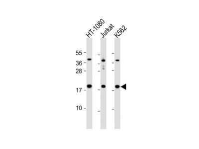 NAT13 Antibody