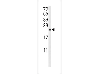 IL10 Antibody