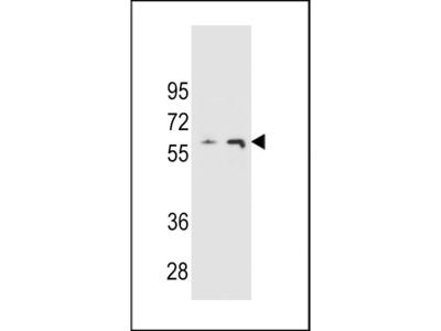 THUM3 Antibody
