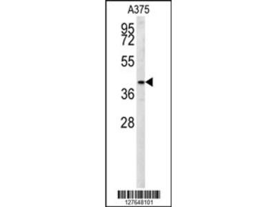 S35B2 Antibody