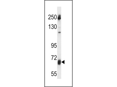 GGT7 Antibody