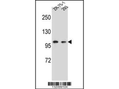 GRIP2 Antibody
