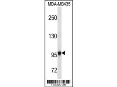 EXTL3 Antibody