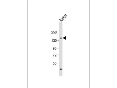 PPRC1 Antibody
