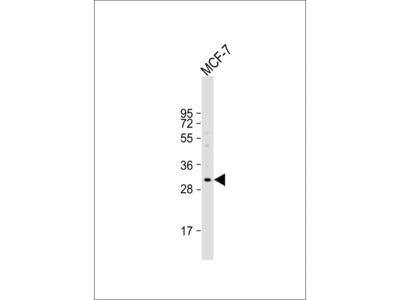 EVPLL Antibody