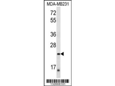 PEX11A Antibody