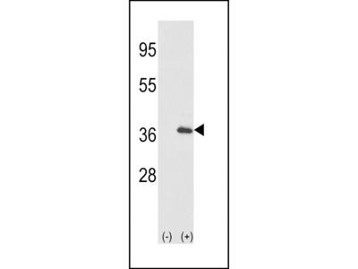 IL1A-S87 Antibody