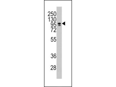 CBF Antibody