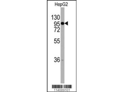 CHRD Antibody
