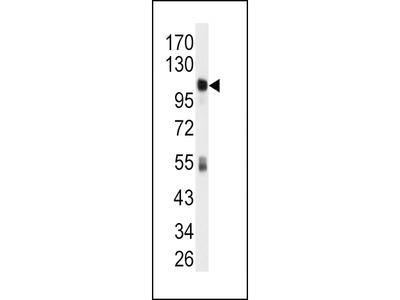 ALDH1L1 Antibody