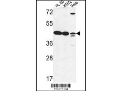 LFNG Antibody