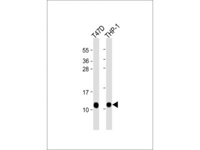 CRIP1 Antibody