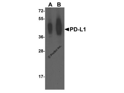 PD-L1 Antibody [4F2]