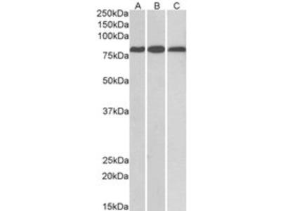 Goat anti-MID2 / TRIM1 Antibody