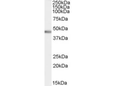Goat anti-PTF1A / PFT1-P48 Antibody