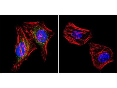 PSD-95 Monoclonal Antibody (7E3-1B8)
