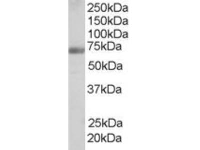 Goat anti-FBP17 / FNBP1 Antibody