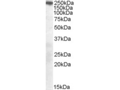 Goat anti-SORL1 / LR11 (C Terminus) Antibody