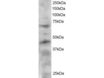 Goat anti-TERF1 / PIN2 Antibody