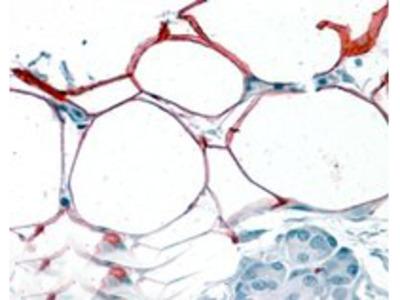 Goat anti-S3-12 / KIAA1881 Antibody