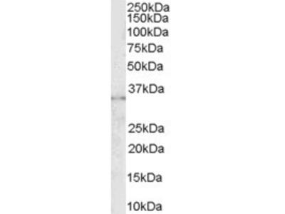 Goat anti-CD32 / FCGR2B Antibody