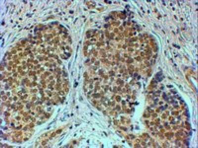 Goat anti-TIF1A / TRIM24 Antibody
