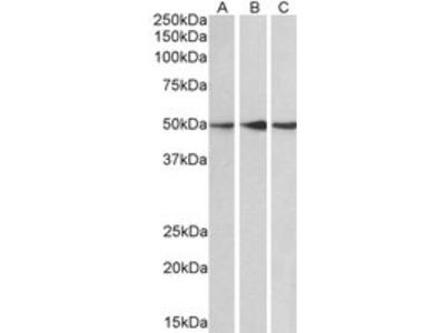 Goat anti-PPP2R5E Antibody