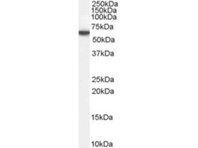 Goat anti-Perilipin (internal) Antibody