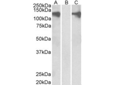 Goat anti-PUM2 Antibody