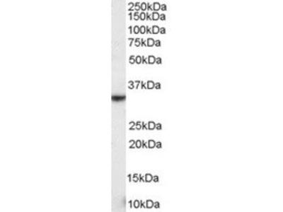 Goat anti-NKG2D / KLRK1 Antibody