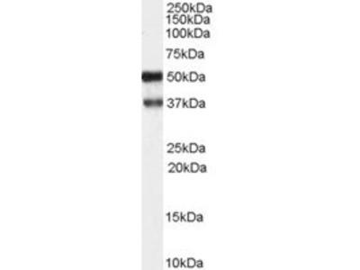 Goat anti-PACSIN1 Antibody