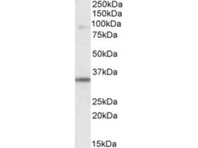 Goat anti-ZASP/ CYPHER / LDB3 Antibody
