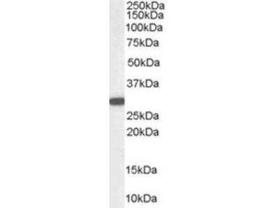Goat anti-NQO1 Antibody