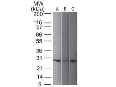 PGP9.5 antibody