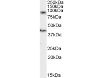 Goat anti-DAP10 / HCST Antibody