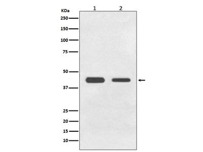Anti-BMP11 Rabbit Monoclonal Antibody