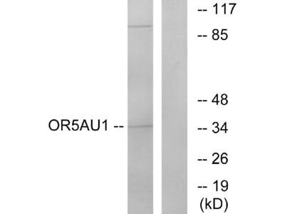 Anti-Olfactory receptor 5AU1 OR5AU1 Antibody